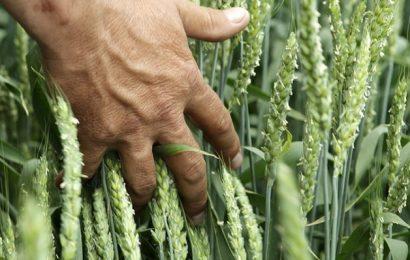 Analitiki: Cene ruske pšenice so dosegle najvišjo vrednost po koncu leta 2014