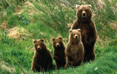 """AAG podal pripombe na """"Osnutek Odloka o ukrepu odvzema osebkov vrst rjavega medveda in volka iz narave"""""""