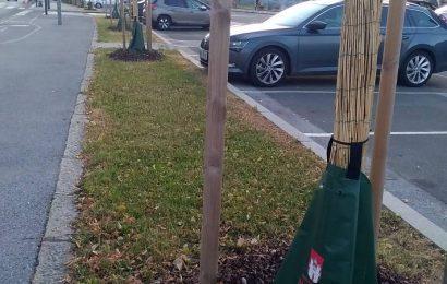 Zalivalne vreče na obcestnih drevesih odlična rešitev za globinsko zalivanje