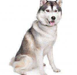 Haskiji v vojski: arktične motorizirane enote uporabljajo pasje vprege